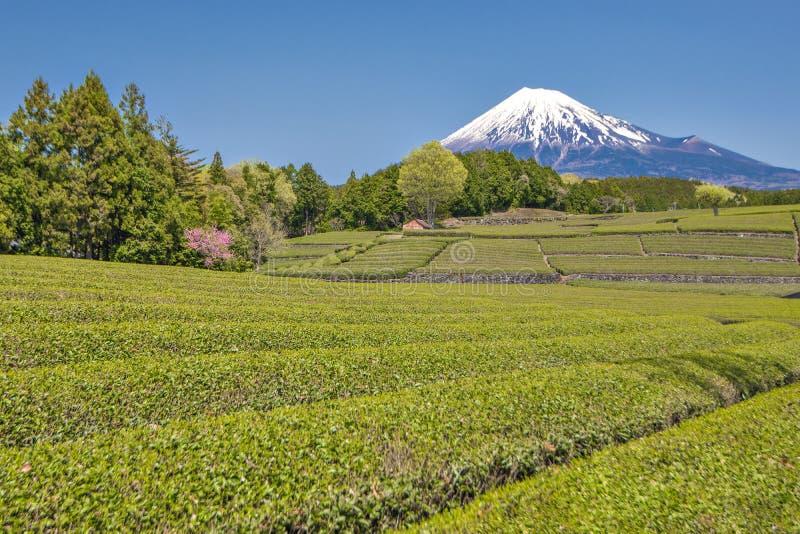 Гора Фудзи и плантация чая на Shizuoka, Японии стоковые изображения