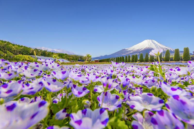 Гора Фудзи и цветочный сад голубого глаза младенца на цветочном саде Hananomiyako около озера Yamanaka стоковая фотография