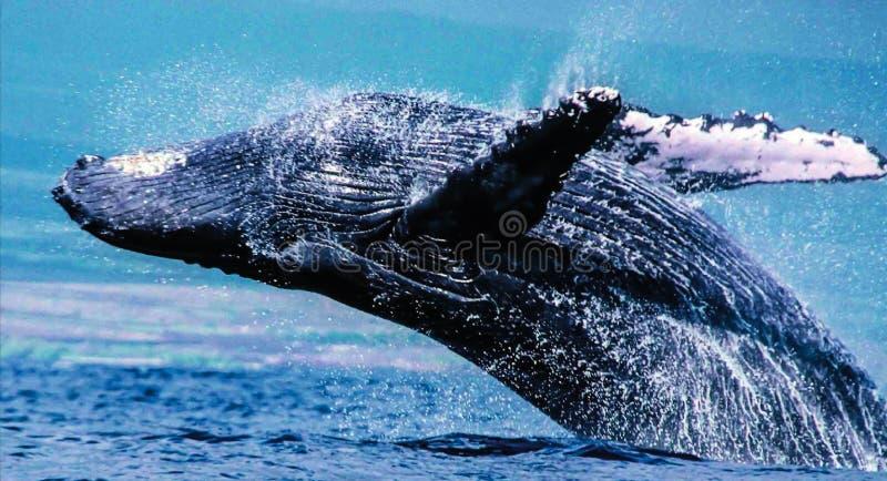 Горбатые киты могут нажать правые из воды, переплетая в воздухе для того чтобы приземлиться на их задние части с огромным выплеск стоковые фото
