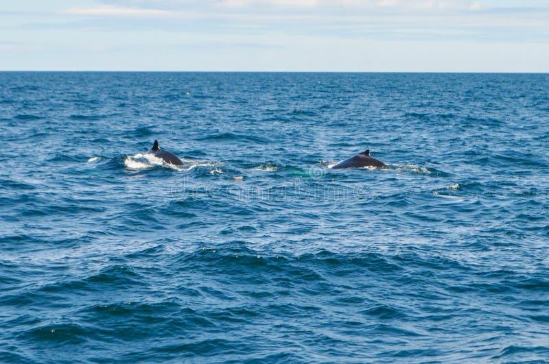 Горбатые киты оффшорные Бостон, МАМЫ, США в Атлантическом океане стоковое фото