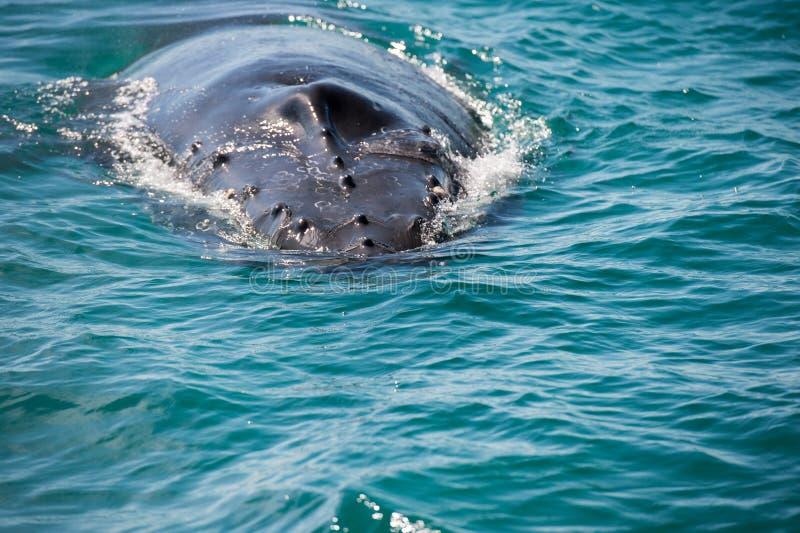 Горбатые киты плавая в Австралии стоковые фотографии rf