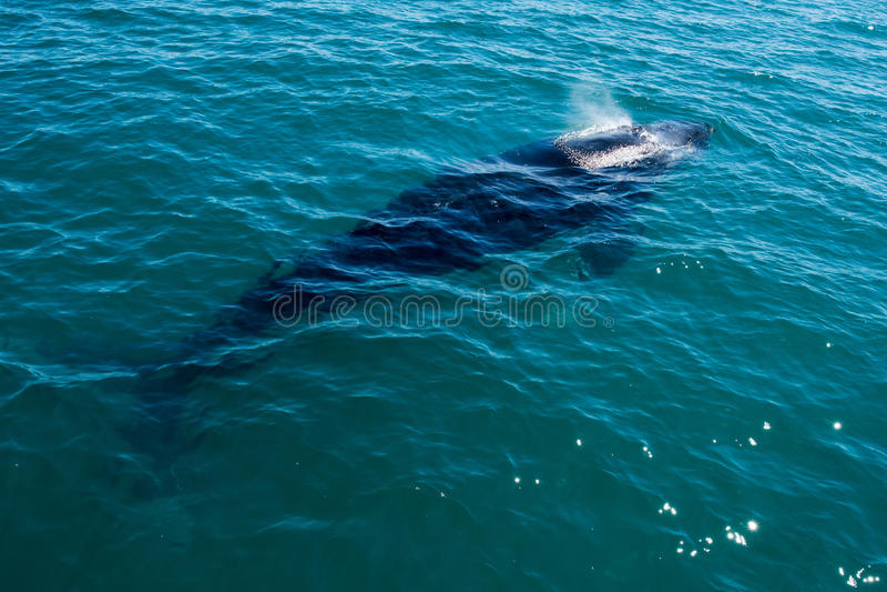 Горбатые киты плавая в Австралии стоковое изображение rf