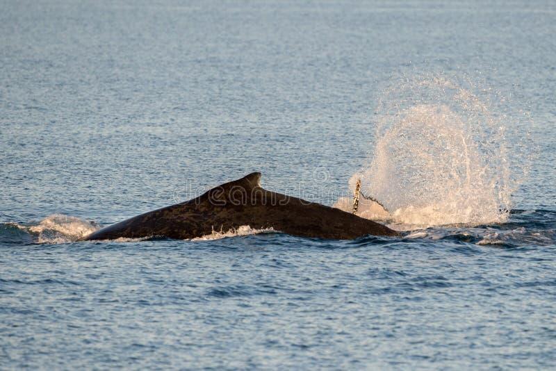Горбатые киты плавая в Австралии стоковое фото