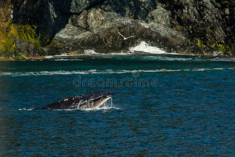 Горбатый кит в Prince William Sound в Аляске стоковые изображения