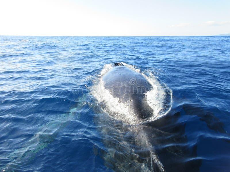Горбатый кит назад стоковое фото rf