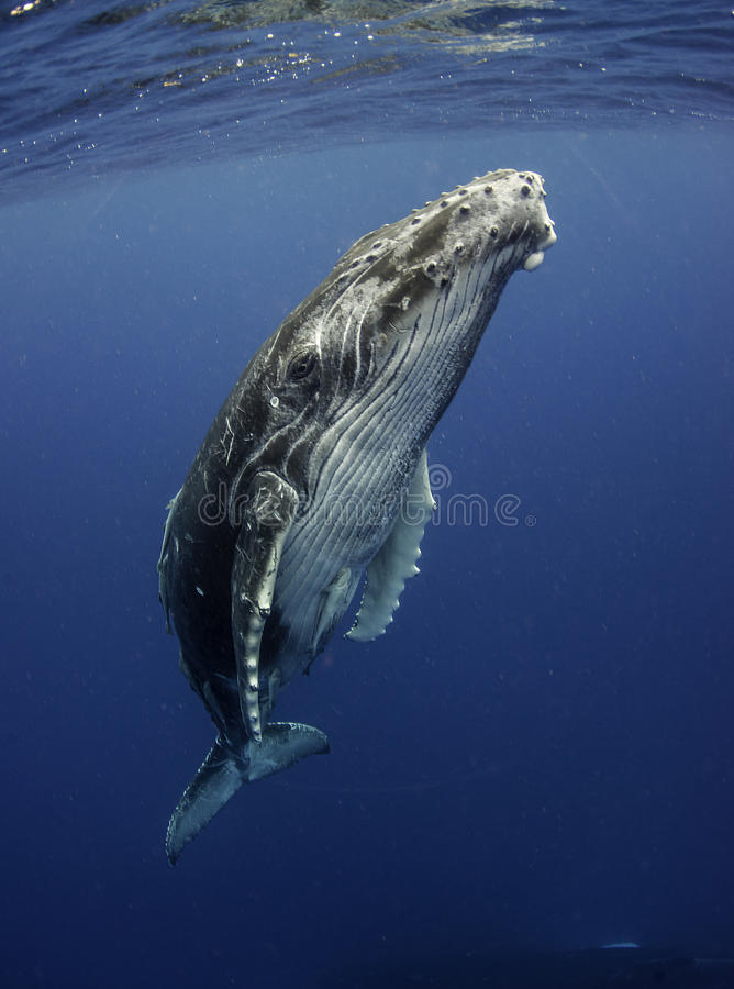 Горбатый кит на поверхности стоковое изображение