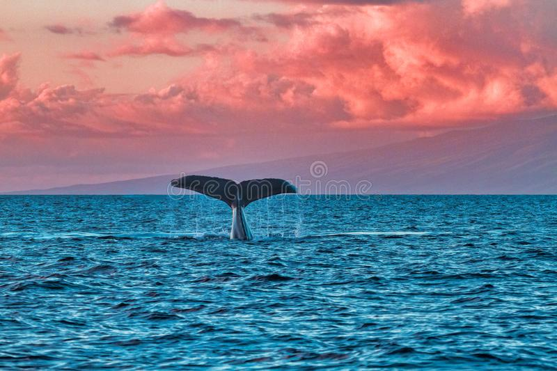 Горбатый кит развевая свое flule на наблюдателях кита на заходе солнца около Lahaina на Мауи стоковые фотографии rf