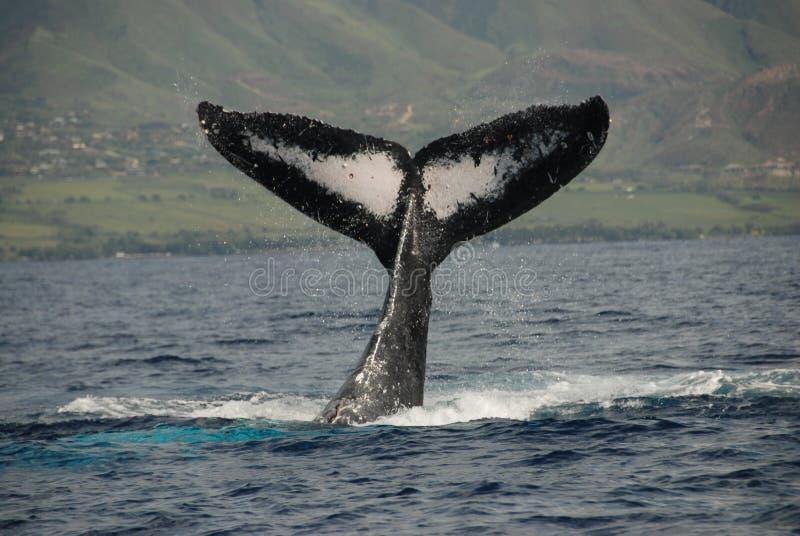 Горбатый кит стоковая фотография