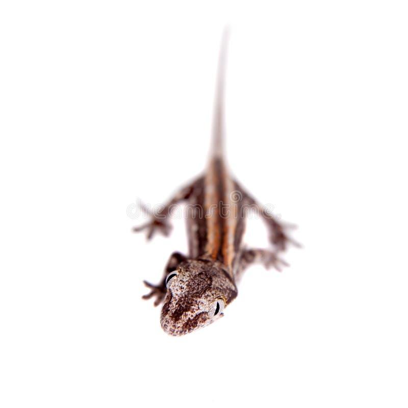 Горгулья, новые шотландские ухабистые гекконовые на белизне стоковые изображения rf