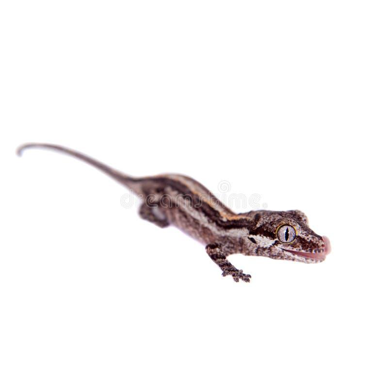 Горгулья, новые шотландские ухабистые гекконовые на белизне стоковое изображение rf