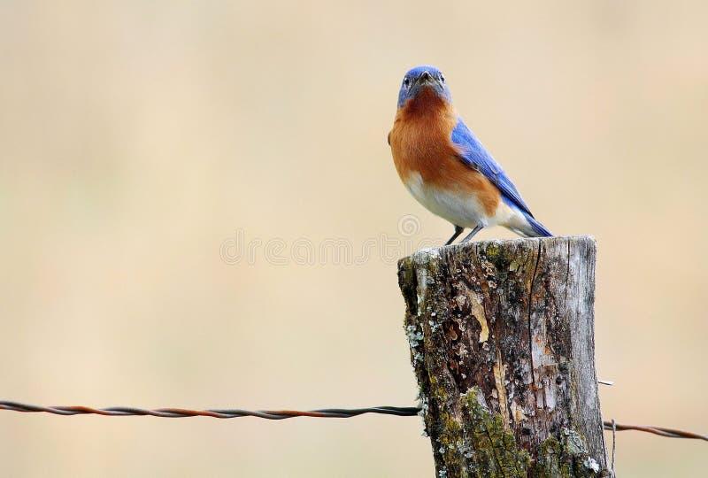 Гордая восточная синяя птица на столбе загородки стоковое фото rf