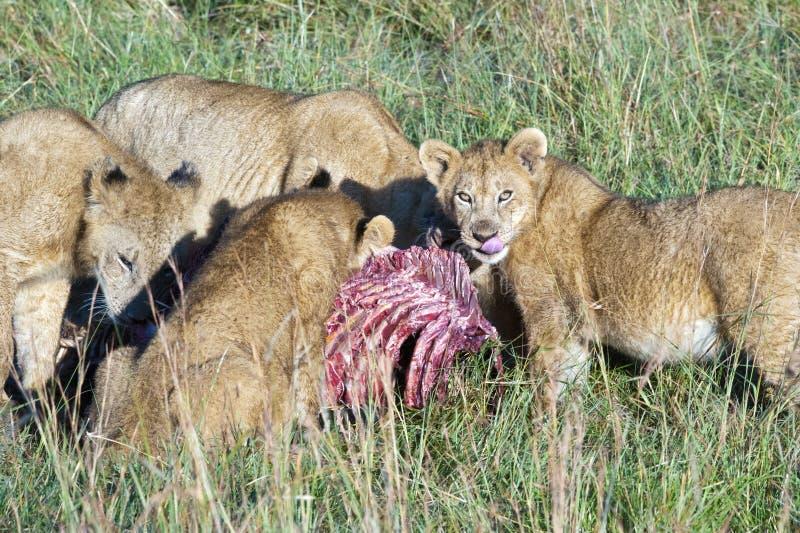 Гордость львов есть hunt стоковые изображения