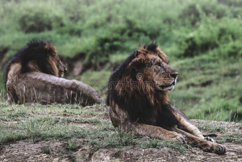 Гордость львов стоковые фото