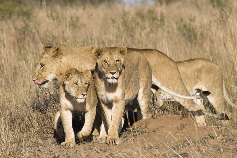 гордость львов стоковое фото rf