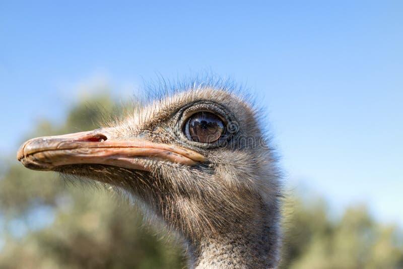 Гордый страус стоковые фото
