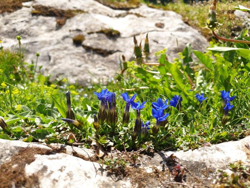 Горечавка весны в швейцарских горных вершинах стоковое изображение rf