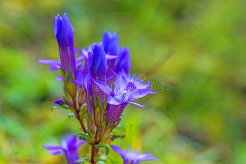 Горечавка Chiltern, germanica Gentianella стоковые фотографии rf