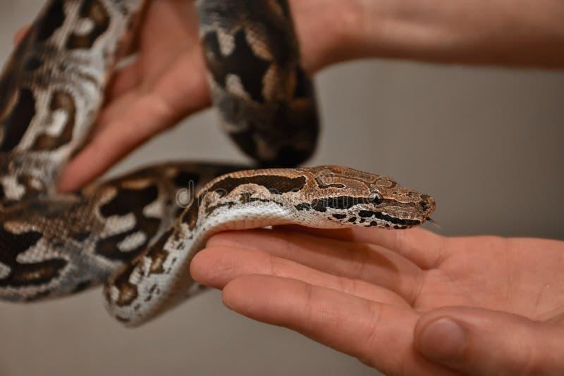 Горжетка в наличии, змейка в наличии, человек держит горжетку стоковые изображения