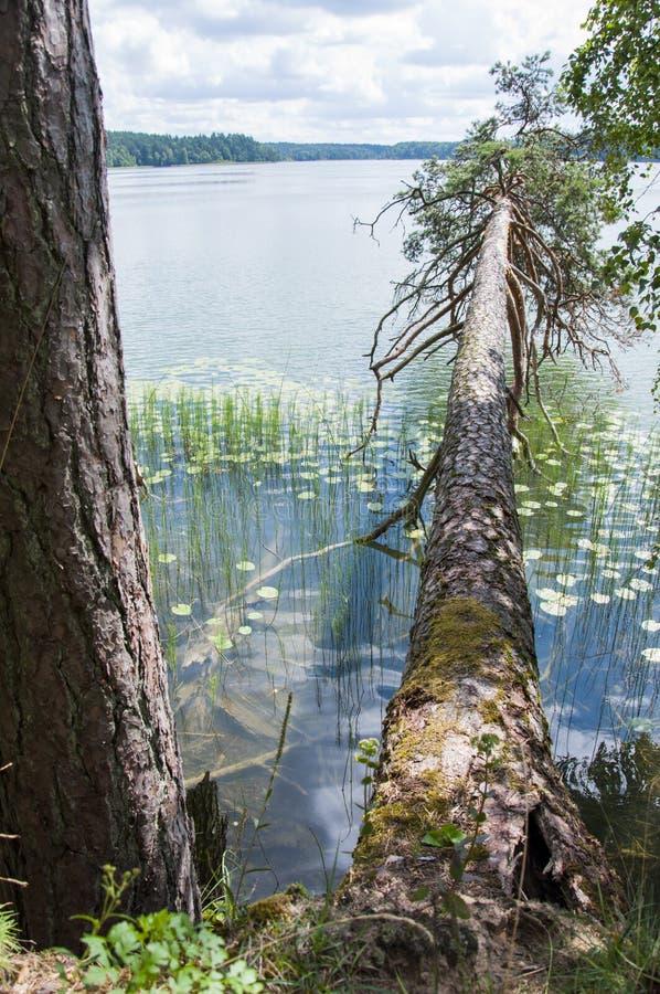 Горизонтально упаденная coniferous сосна над поверхностью озера стоковое фото