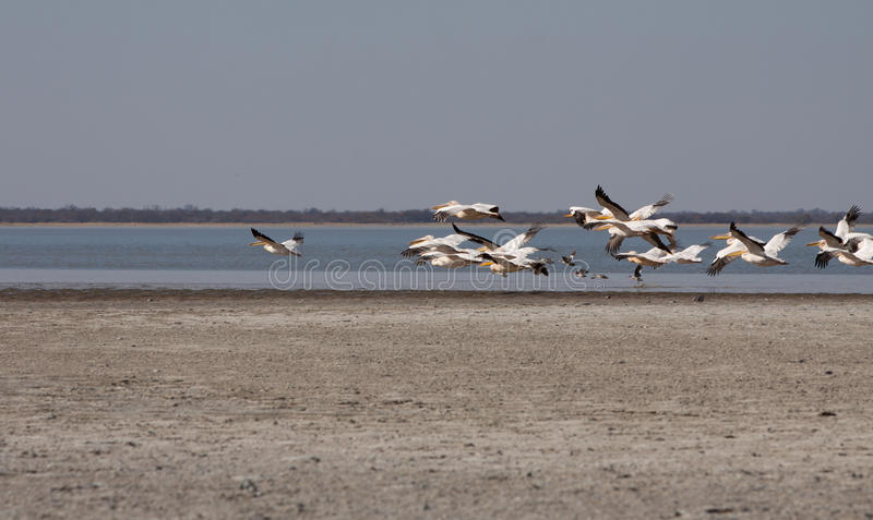 горизонтальные пеликаны летая стоковые фото