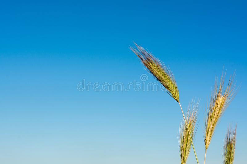 Горизонтальный взгляд конца вверх слышит пшеницы на голубом небе Backgr стоковое изображение rf