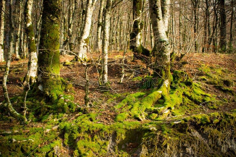 Горизонтальный взгляд некоторых деревьев предусматриванных в мхе стоковая фотография