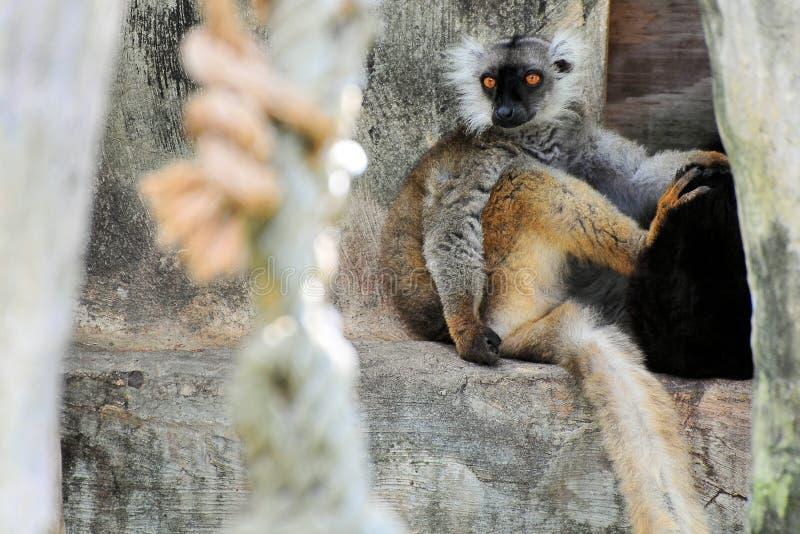 горизонтальный lemur стоковое изображение