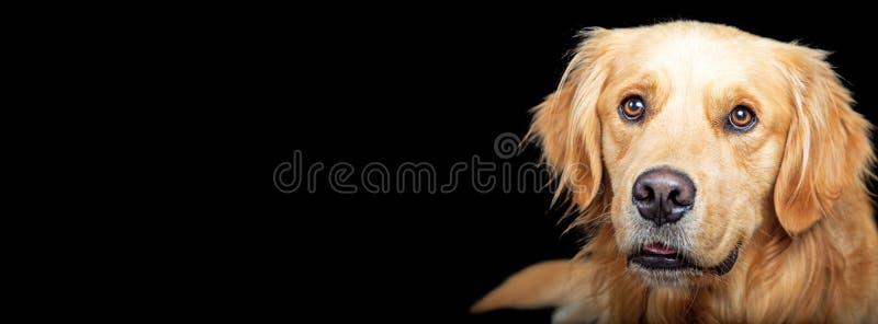 Горизонтальная собака золотого Retriever знамени на черноте стоковое изображение rf
