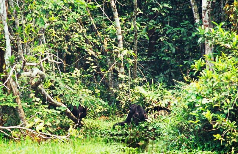 Горилла в джунглях в Конго стоковое изображение rf