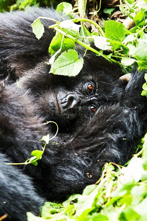 Горилла в запасе Virunga, Руанде стоковое фото