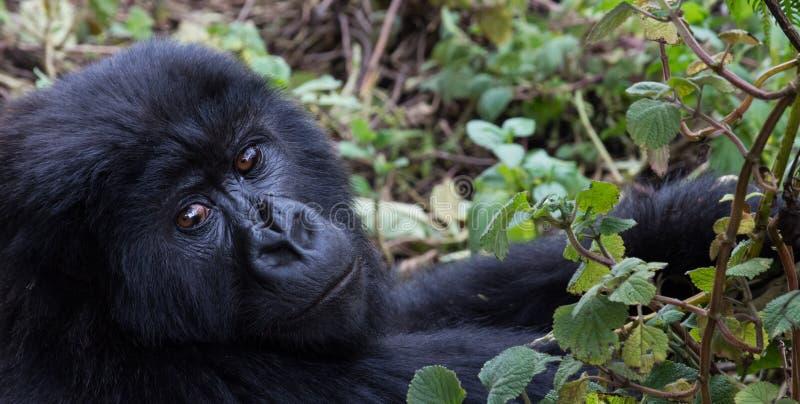 Горилла горы в лесе освобождая Руанду стоковое фото