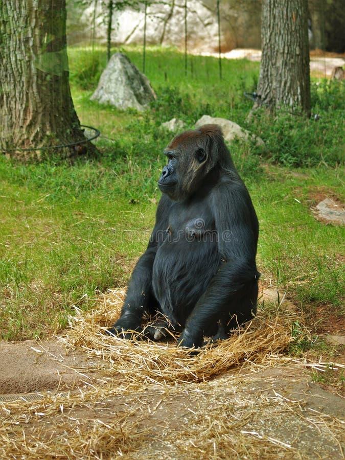 Горилла западной низменности на зоопарке Asheboro стоковые изображения rf