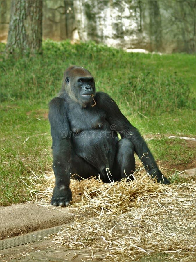 Горилла западной низменности на зоопарке Asheboro стоковое фото