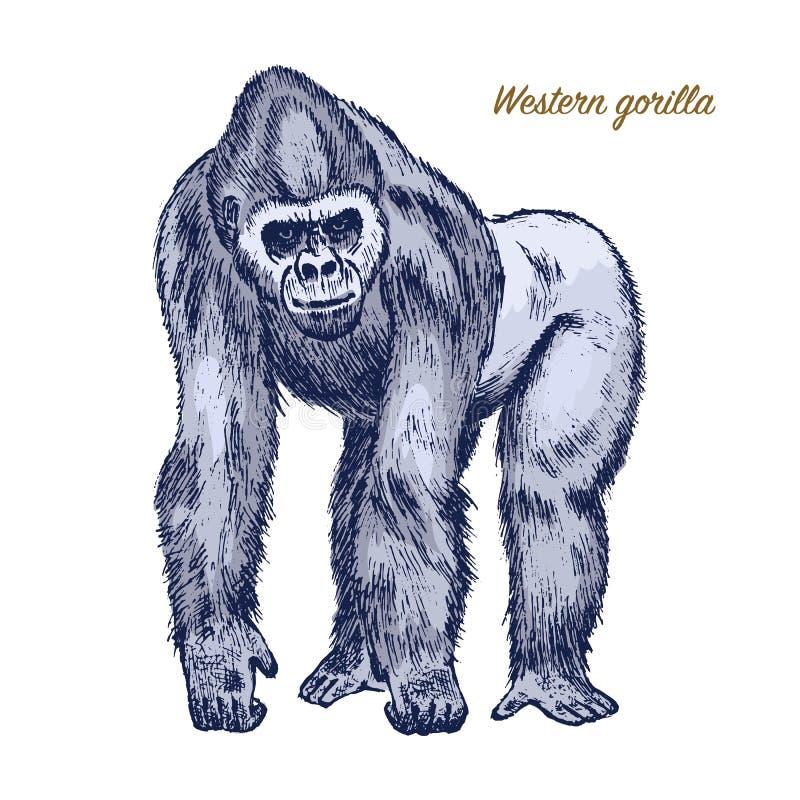Горилла западных или горы большие обезьяна или примат Дикое животное руки нарисованное, выгравированное в винтажном или ретро сти иллюстрация вектора