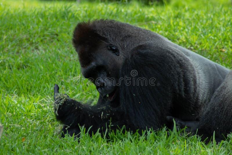 Горилла лежа на животе с едой в руке стоковая фотография rf