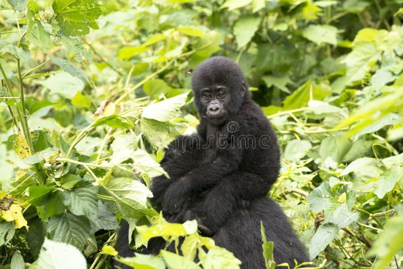 Горилла младенца в дождевом лесе Африки стоковое изображение rf