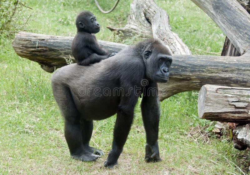горилла младенца стоковое фото rf
