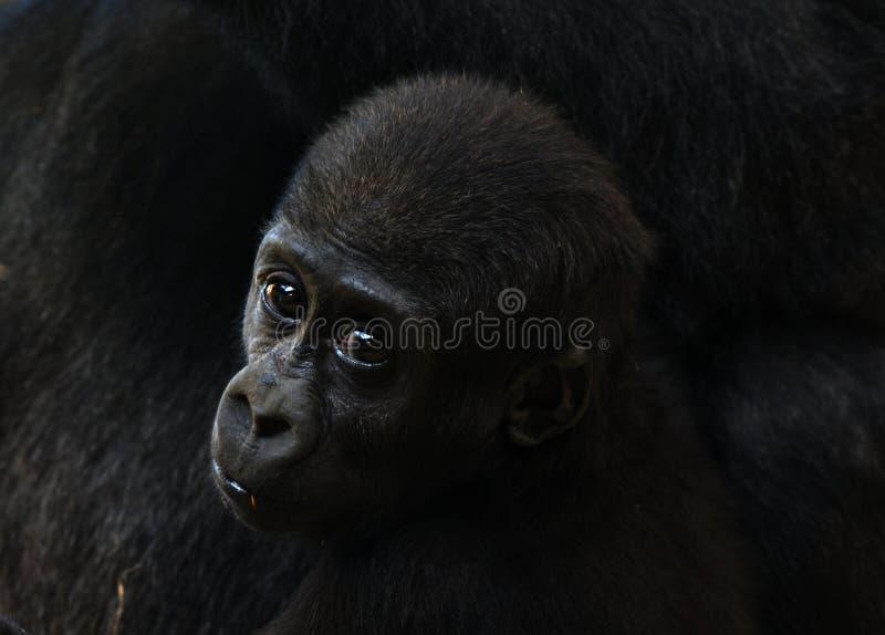 горилла младенца стоковая фотография