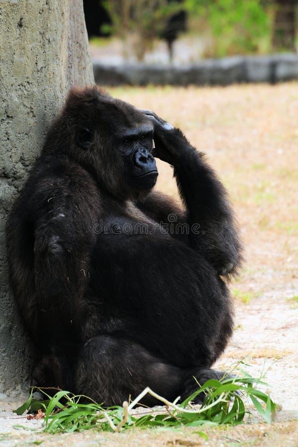 горилла супоросая стоковые изображения rf