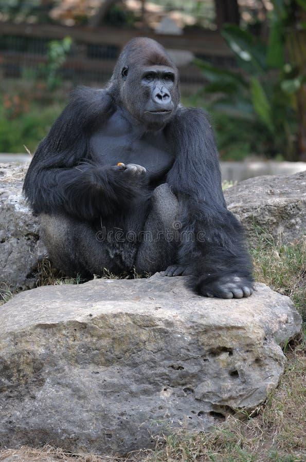 горилла стоковое фото