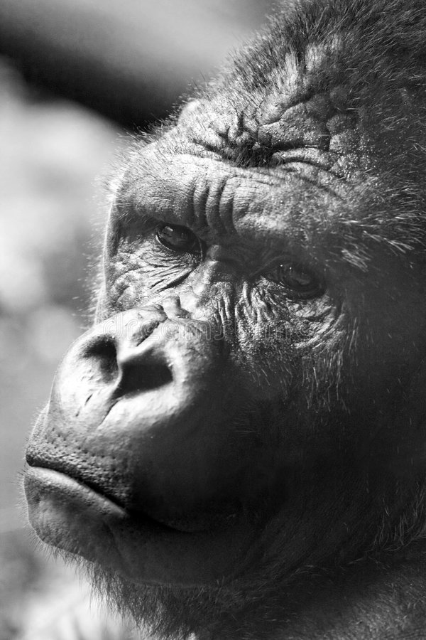 горилла стоковое фото rf