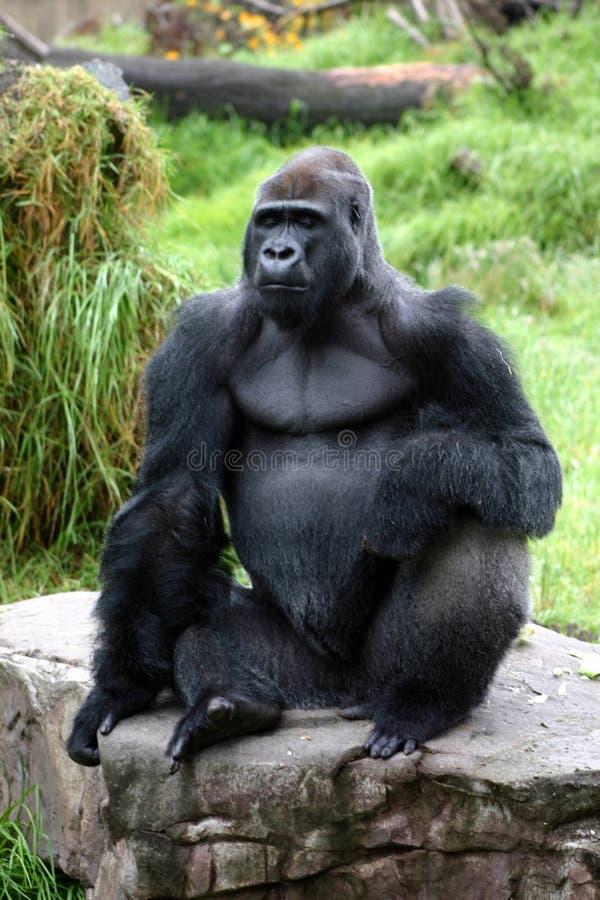 горилла стоковая фотография rf