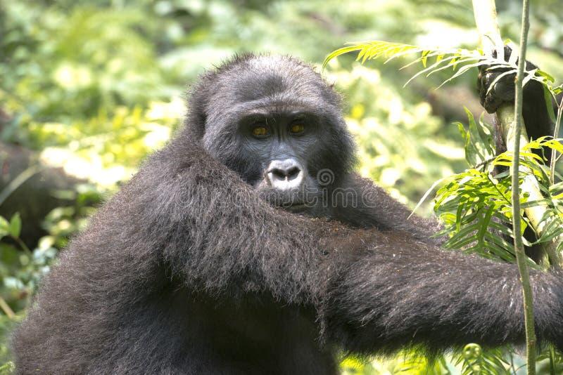 Горилла - silverback - в дождевом лесе Африки стоковая фотография rf