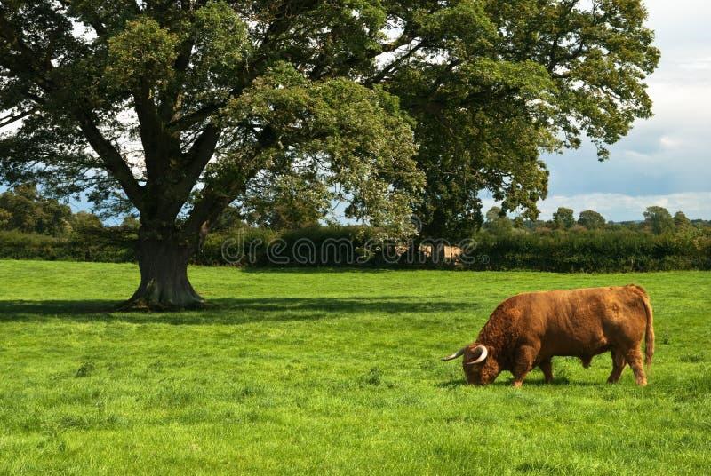 гористая местность быка стоковые фотографии rf