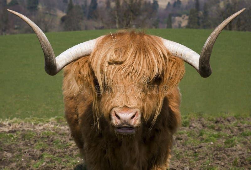 гористая местность быка стоковое изображение