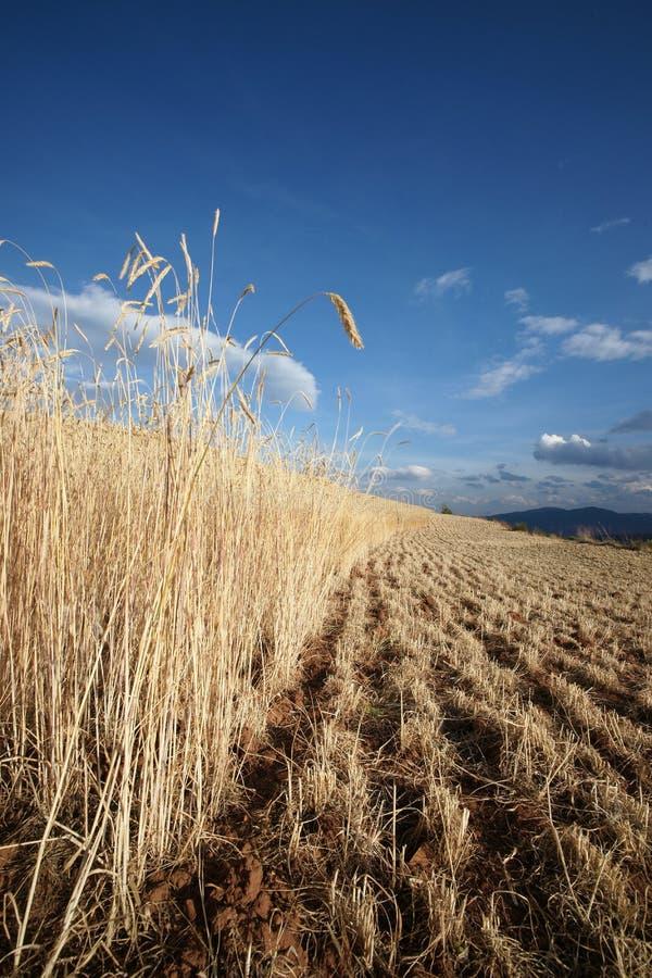 гористая местность сельскохозяйствення угодье фарфора ячменя dongchuan стоковые изображения rf