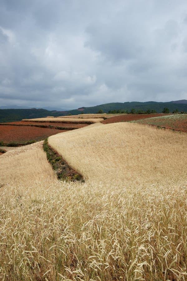 гористая местность сельскохозяйствення угодье ячменя стоковые фотографии rf
