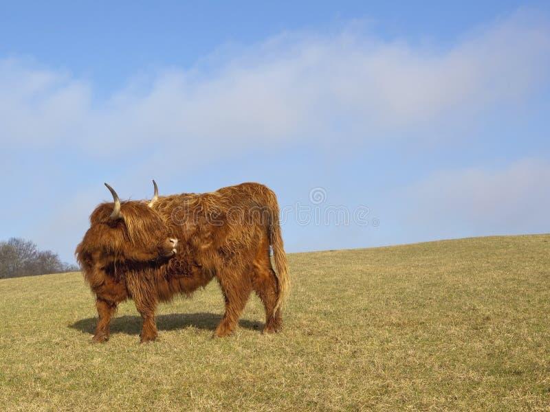 Download гористая местность 2 коров стоковое фото. изображение насчитывающей скотины - 18386652