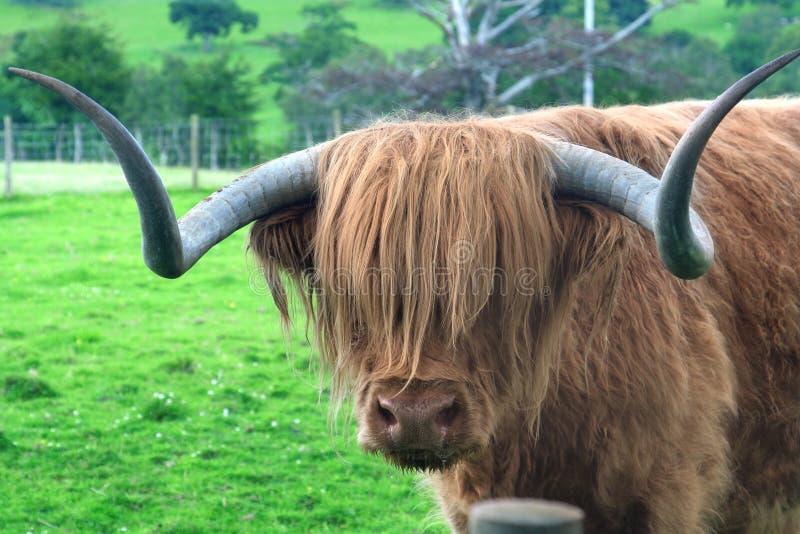 гористая местность hamish быка стоковая фотография
