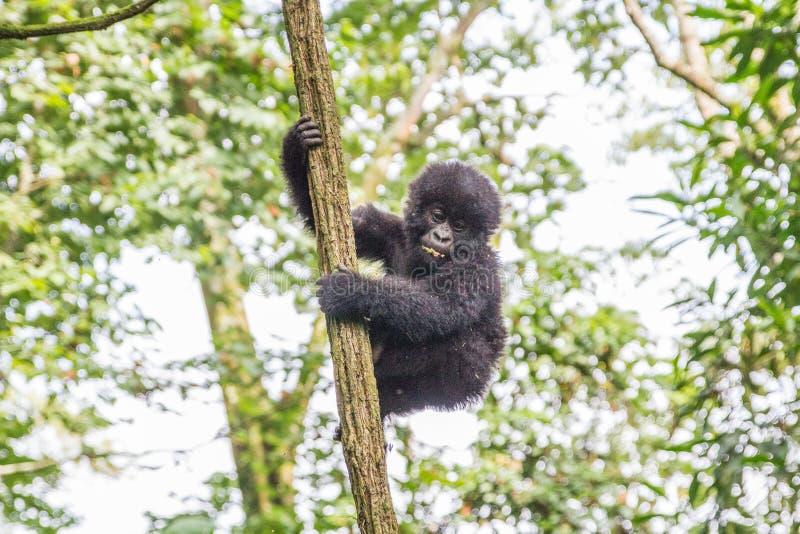Горилла горы младенца в дереве в национальном парке Virunga стоковое изображение